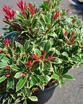 Rotsheide - Pieris japonica 'Carnaval'