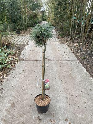 Witte pijnboom - Pinus strobus 'Green Twist'  (op stam)