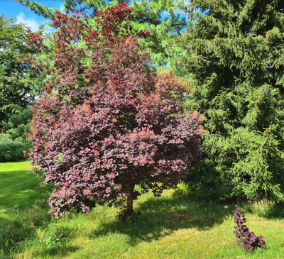 Pruikenboom - Cotinus coggygria 'Royal Purple'