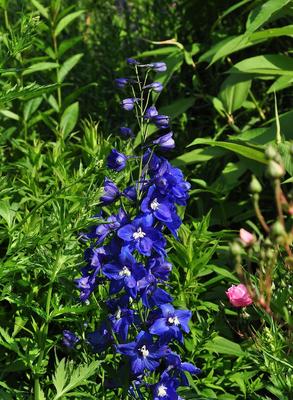 Ridderspoor - Delphinium 'Ouverture'