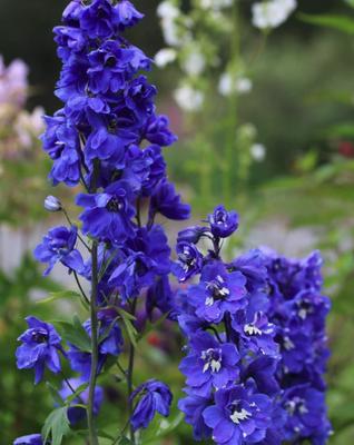 Ridderspoor - Delphinium 'Blue Bird'