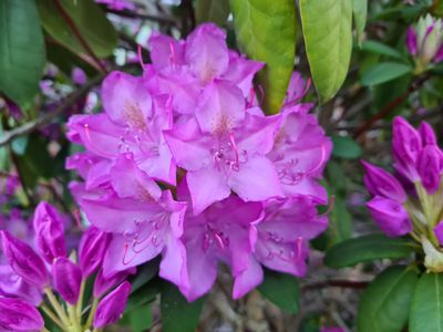 Rododendron - Rhododendron 'Roseum Elegans'