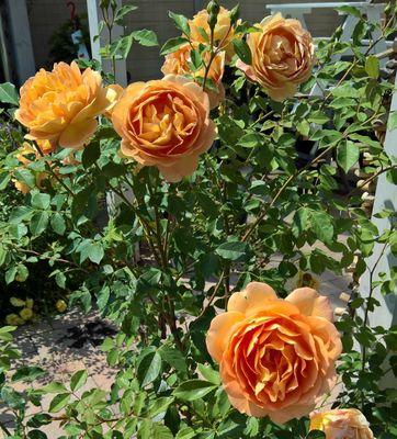 Grootbloemige roos - Rosa 'Lady of Shalott'