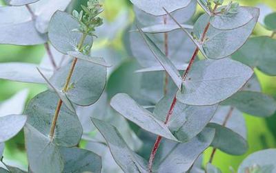 Cidereucalyptus - Eucalyptus gunnii