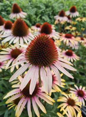 Rode Zonnehoed - Echinacea purpurea 'Kim's Knee High'