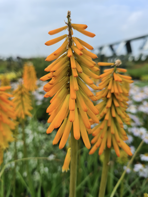 Vuurpijl - Kniphofia 'Earliest of All'