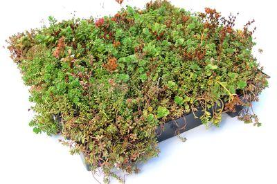 Sedum groendak cassette - Sempergreen - Click 'n Go Sedumtray - per 45x50 cm (0.22 m2)