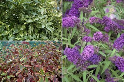 Borderplan Thijmen - Borderpakket heesters - groenblijvend, bloeiend & herfstkleuren - Bloeikleur Wit & paars - vanaf 3m2
