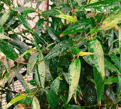Trompetkruid - strobilanthes anisophyllus 'Brunetthy'