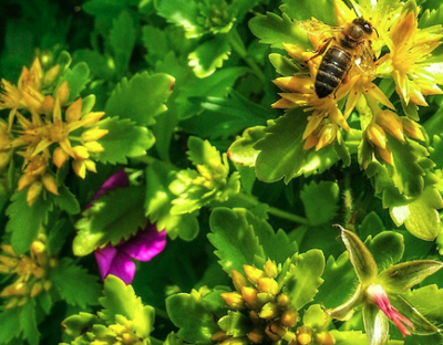 Vetkruid - Sedum floriferum 'Weihenstephaner Gold'