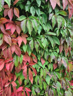 Vijfbladige wingerd - Parthenocissus quinquefolia