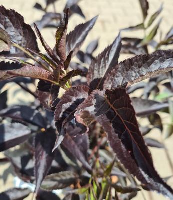 Vlier - Sambucus nigra 'Black Beauty'