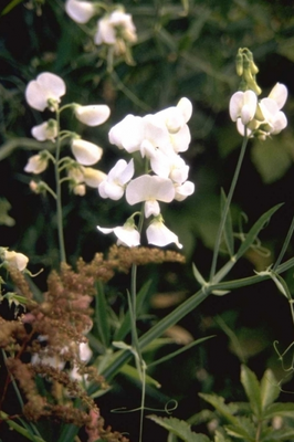 Brede lathyrus - Lathyrus latifolius 'White Pearl'