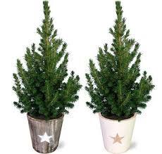 Echte kerstboom - Canadese spar - Picea glauca 'Conica' - Mini Kerstboom