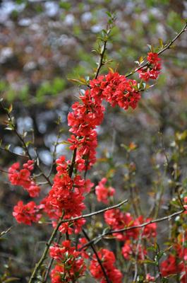 Dwergkwee - Chaenomeles japonica