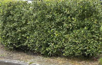 Groene Hulst - Ilex Aquifolium