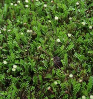 Koperknoopje - Leptinella Squalida
