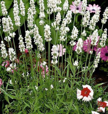 Gewone lavendel - Lavandula angustifolia 'Alba'