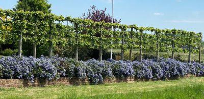 Borderpakket - Tuinplantenpakket Leilinden en sering