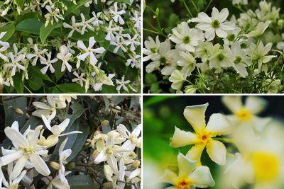Borderplan Jasmijn - Borderpakket pergola - Groenblijvende klimplanten (B) - set van 4