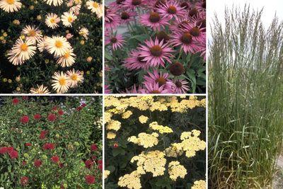 Borderplan Mirthe - Vaste planten borderpakket - Prairietuin - Wit & rood - droge grond - Zon