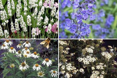 Borderplan Ellen - Vaste planten borderpakket - Bijen - Bijvriendelijke tuinplanten - Wit & Paars - Zon
