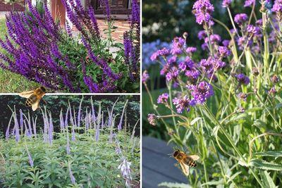 Borderplan Sanne - Vaste planten borderpakket - Bijen - Bijvriendelijke tuinplanten - Paars - Zon