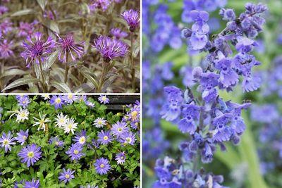 Borderplan Thomas - Vaste planten borderpakket - Blauw - Halfschaduw