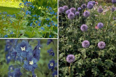 Borderplan Ruben - Vaste planten borderpakket - Blauw - Zon