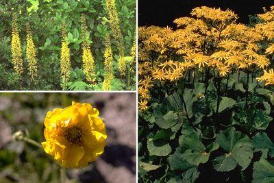 Borderplan Emma - Vaste planten borderpakket - Geel - Halfschaduw