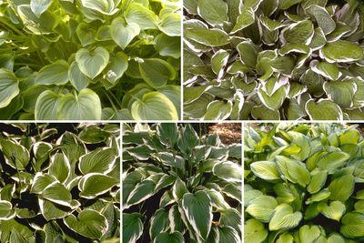 Borderplan Daan - Hosta borderpakket - Groenblijvende schaduwplanten