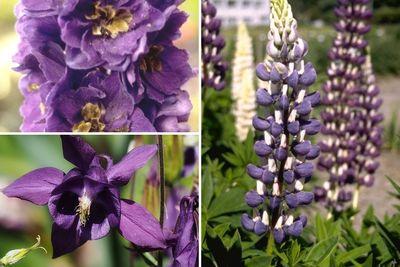 Borderplan Lisanne - Vaste planten borderpakket - Paars  - Klei bodem - Halfschaduw & zon