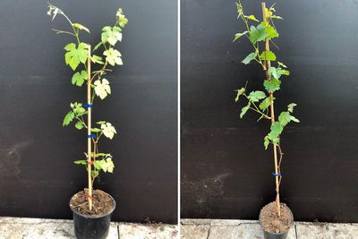 Borderplan Bram - Borderpakket pergola - Eetbare klimplanten druiven - set van 4