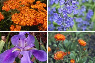 Borderplan Sterre - Vaste planten borderpakket - oranje & paars - droge grond - zon