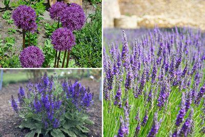 Borderplan Milou - Vaste planten borderpakket - Paars - Zon