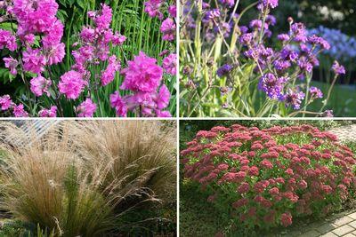 Borderplan Benthe - Vaste planten borderpakket - Roze & paars - droge grond - zonnige border