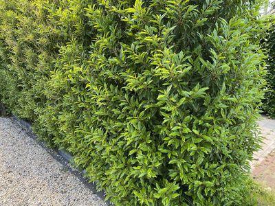 Portugese laurier - Prunus Lusitanica 'Angustifolia'