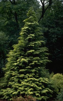 Californische cipres - Chamaecyparis lawsoniana 'Lane'