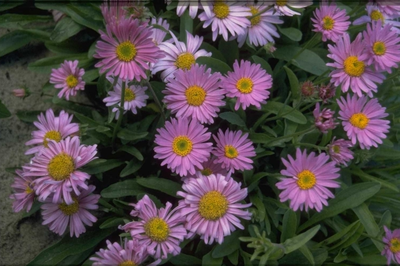 Alpenaster - Aster alpinus 'Happy End'