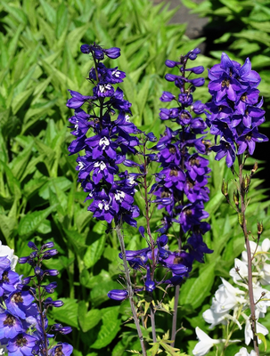 Ridderspoor - Delphinium Black Knight Group