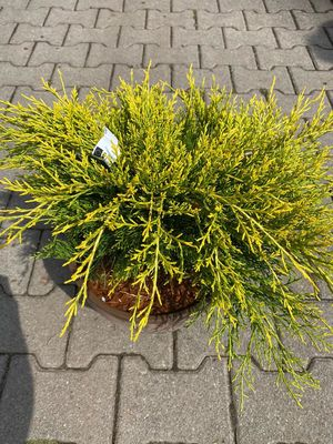 Jeneverbes - Juniperus media 'Old Gold'