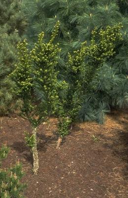 Taxus - Taxus baccata 'Amersfoort'