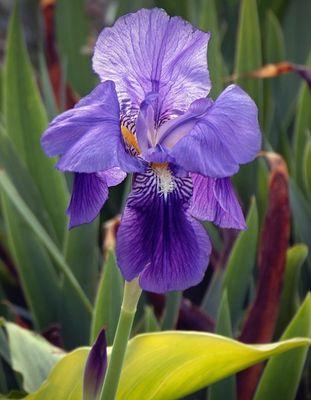 Lis - Iris 'Joanna'