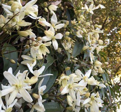 Bosrank - Clematis armandii 'Apple Blossom'