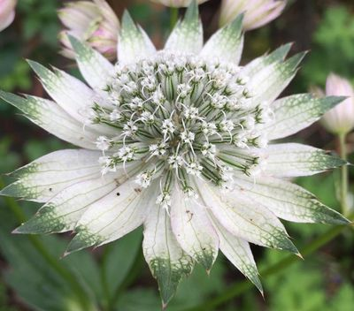 Zeeuws knoopje - Astrantia major 'Shaggy'