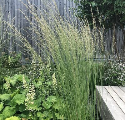 Pijpestrootje - Molinia caerulea 'Heidebraut'