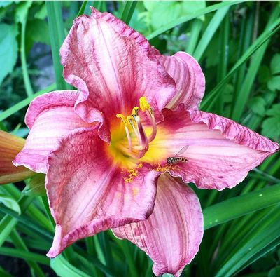 Daglelie - Hemerocallis 'Pink Damask'