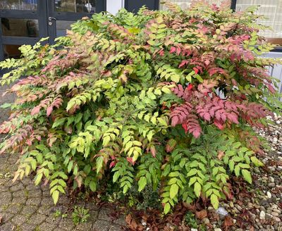 Mahoniestruik - Mahonia japonica
