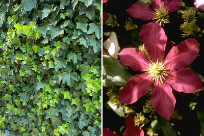 Borderplan Jens - Borderpakket klimplanten - schutting trellis - Klimop & clematis - rode bloemen