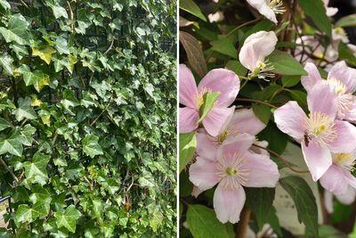 Borderplan Marline - Borderpakket klimplanten - schutting trellis - Klimop & clematis - roze bloemen